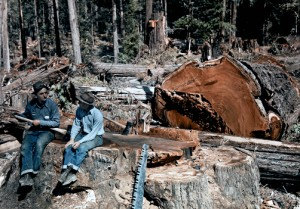 California - Lumbermen conversing among fallen giant redwood trees, Scotia